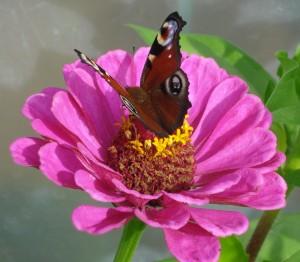 DSC03472papillon zinia
